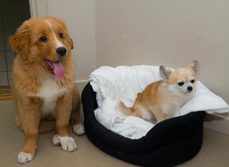 Tollare och Chihuahua