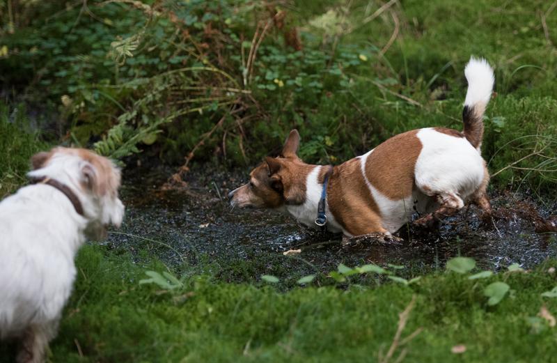 Jack russel i lera