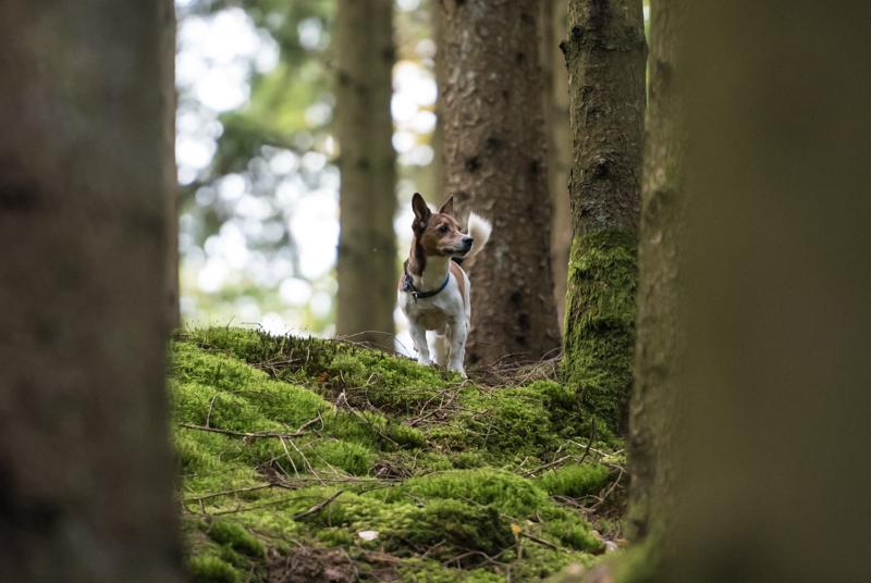 jack russel poserar i skogen
