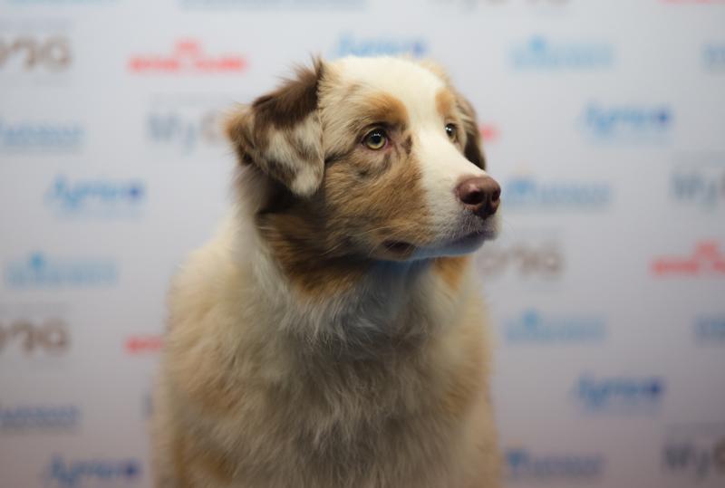 mydog 2016 australian sheepdog