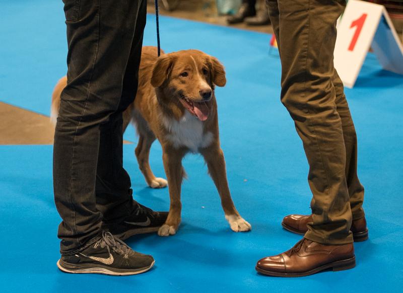 mydog tollare 2016 utställning