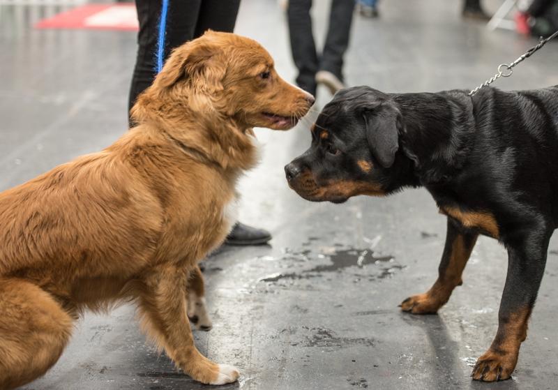 mydog 2016 tollare boxer