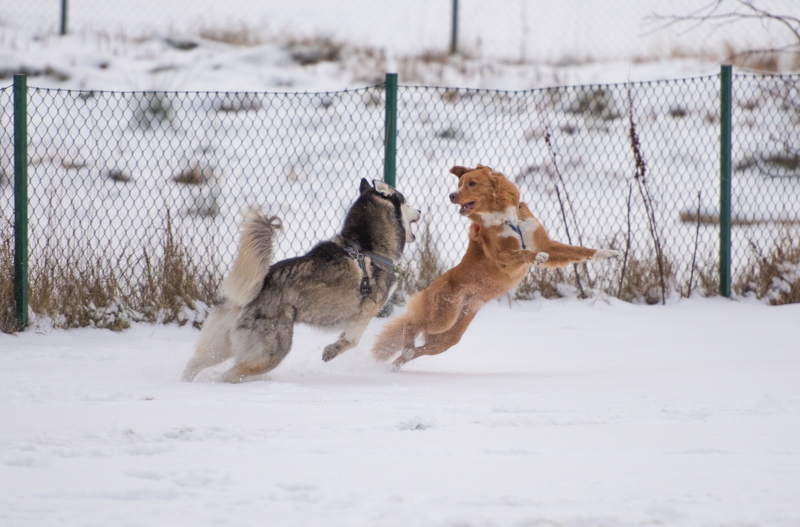 tollare siberian husky snö i slottsskogen
