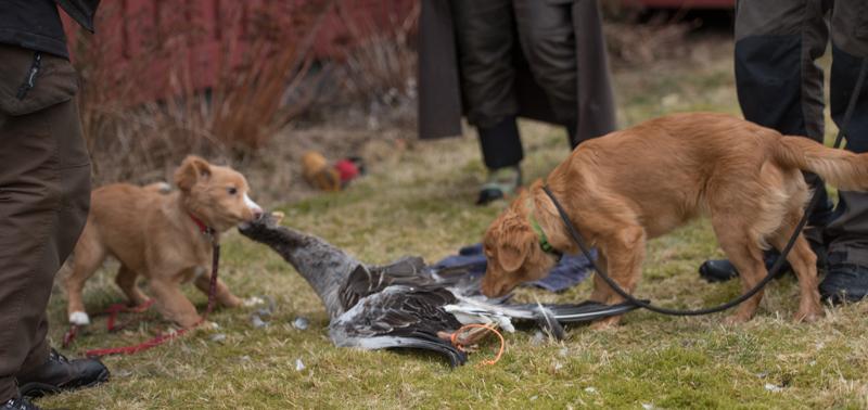 tollarvalpar leker med fågel