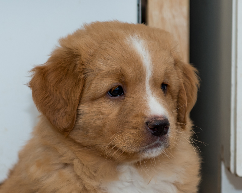 toller-shelter-puppy