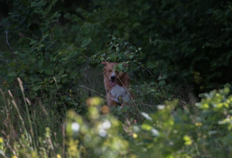 tollare i skog