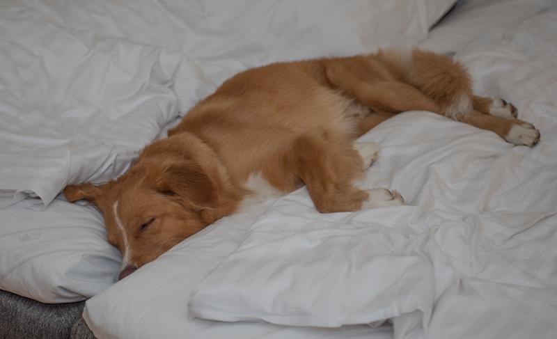 sover efter apportering kastanjelund hundbad