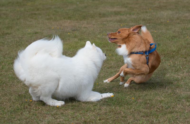 hundutställning lek i pausen tollare samojed
